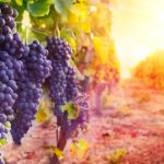 Harvesting Grapes on the Mountain of Blessings as Prophesied in Jeremiah [WATCH]